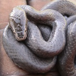 Forest Wolf Snake (Lycophidion Ornatum)